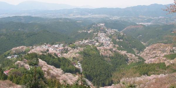 見頃の吉野山桜