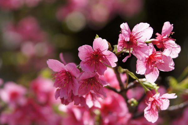 花びらがピンク